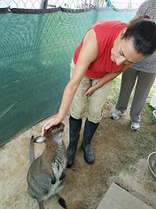 a visitor petting an adult wallaby