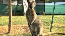 Boris - Bennett's Wallaby (Macropus rufogriseus)