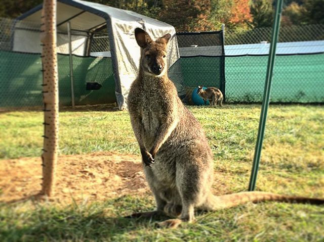 photo of a adult male wallaby