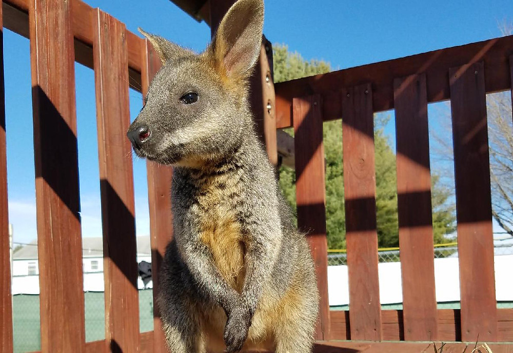 a baby male swamp wallaby