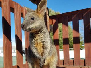 Bonzai- Swamp Wallaby (Wallabia Bicolor)