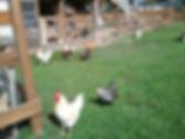 Chicken 1.jpeg