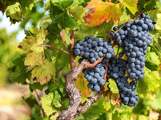In The Know About Pinot