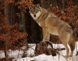 High Tatras Wolf