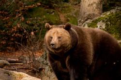 Large European brown bear