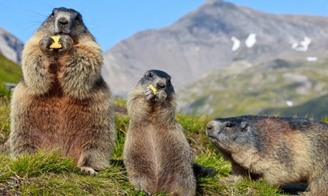 marmots eating tatras