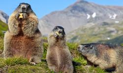 marmots eating tatras
