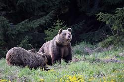 Family of Brown bears