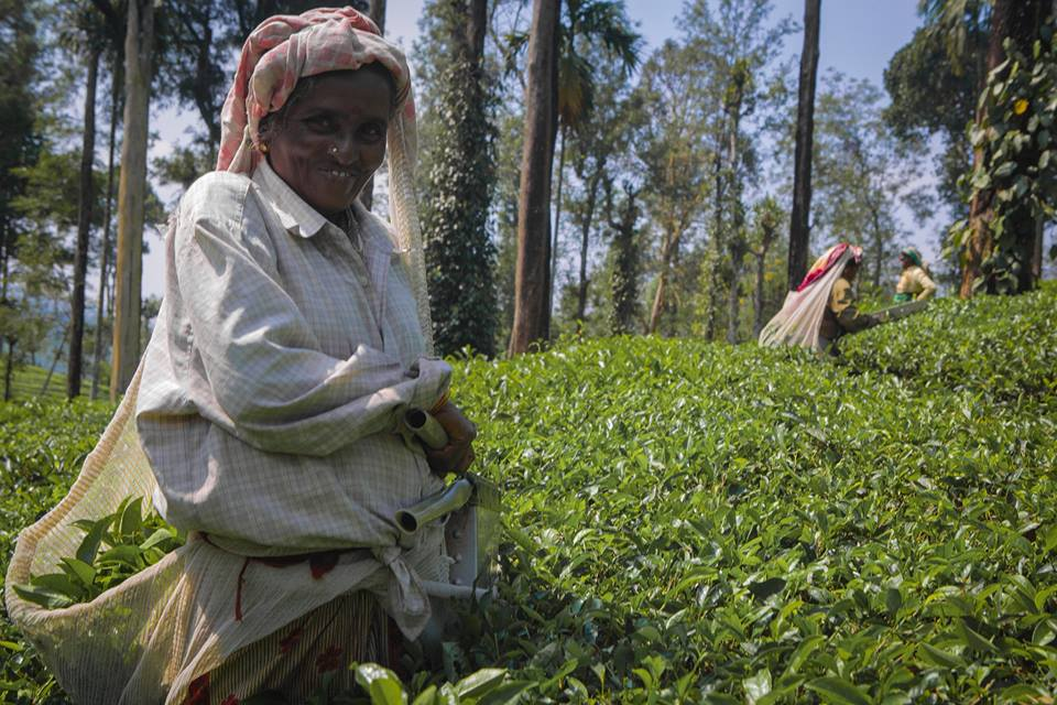 Kalpetta Tea Plantations, Sout India