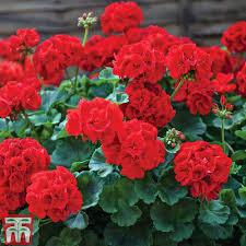 geraniums.jpg