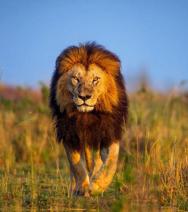 le-lion-est-surnomme-le-roi-des-animaux