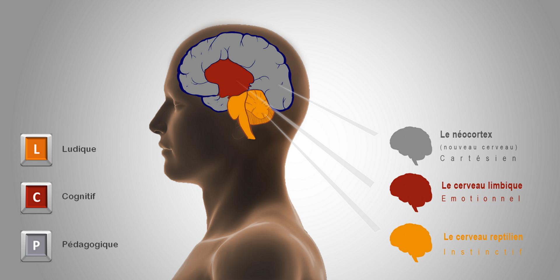 3 niveaux du cerveau