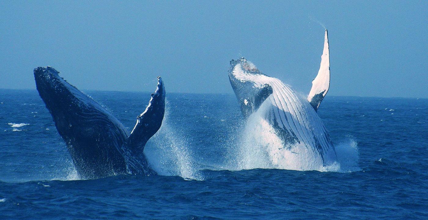 baleines-afrique-du-sud