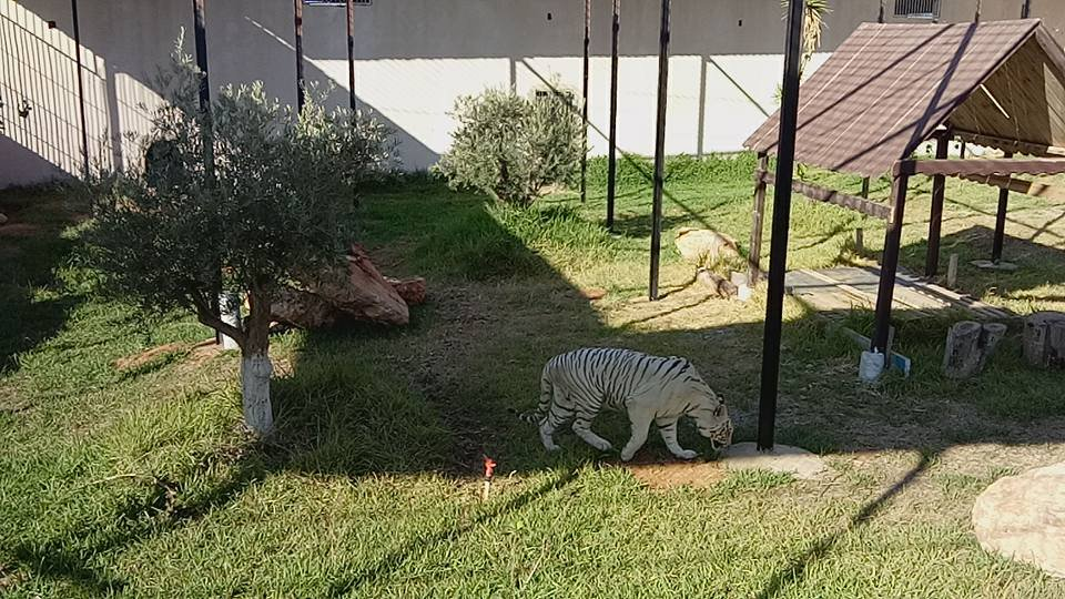 Mostaland tigres