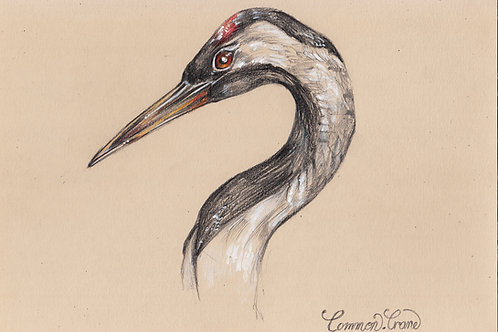 Common Crane - Original drawing