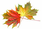 maple leaves for logo for Web page.jpg