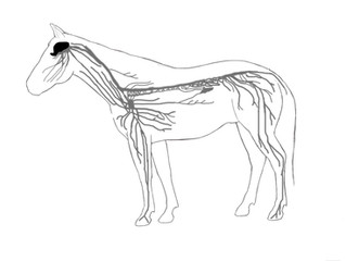 How massage communicates and works with the equine nervous system