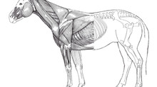 The relationship between EMT and the equine musculoskeletal system