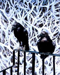 Ravens of the Crown