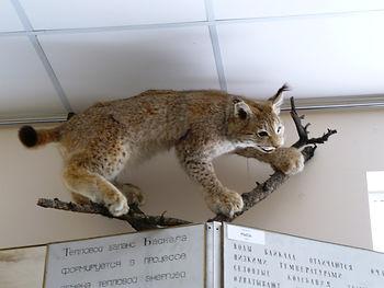 Рысь. Экспонат \байкальского лимнологического музея.