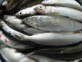 Байкальский омуль, лучшая рыба для приготовления сагудая.