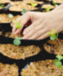 plante, main, potager