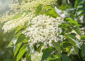 storyblocks-elder-flowers-elderberry-blo