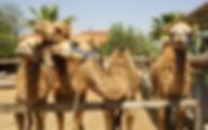 Кипр Верблюжья ферма (Ларнака)
