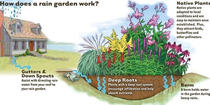 how-rain-garden-works4.jpg