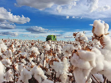 Abapa inicia monitoramento do bicudo do algodão para a safra 2020/21