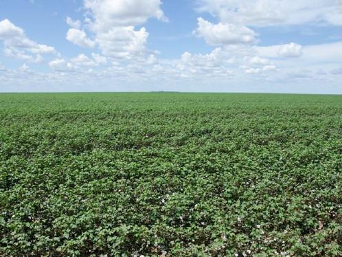 Produção de grãos e fibra no oeste da Bahia é a maior das últimas cinco safras