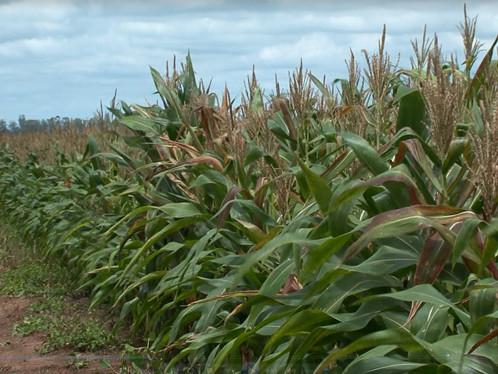 Chuva reanima produtores que já tiveram perda de 15% na lavoura de milho