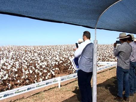 Fundação-BA e Abapa realizam dia de campo do algodão