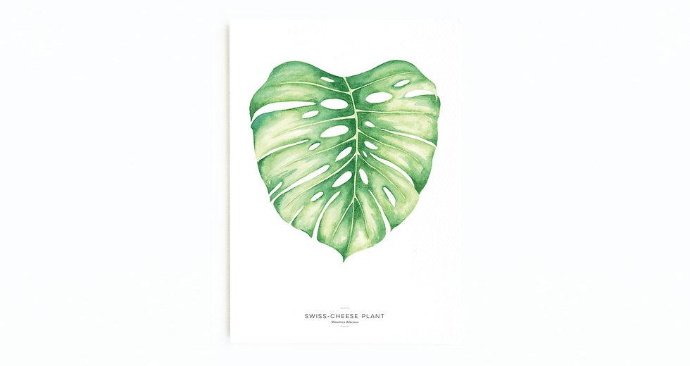 SWISS-CHEESE PLANT