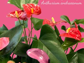 Anthurium 'Flamingo Lily' Care