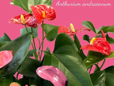 Anthurium 'Flamingo Lily' Care