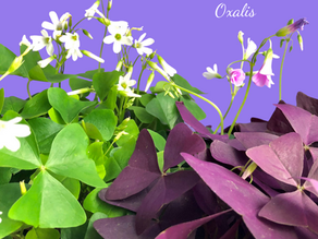 Oxalis 'Shamrock Plant' Care