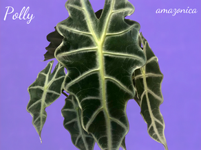 Alocasia 'Polly' Care