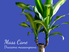 Dracaena Winter Care Tips