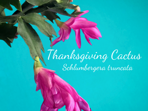 Thanksgiving Cactus Care