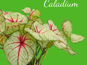 Caladium Care