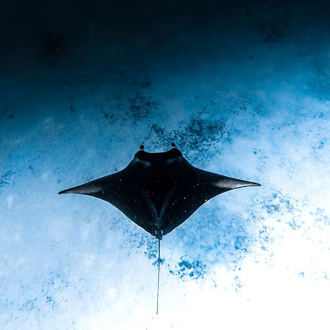 Manta ray in the Maldives