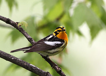 Blackburnian Warbler by Will Stuart