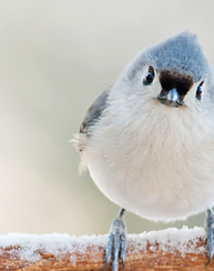 Tufted Titmouse. Catherine McEntee/Audubon Photography Awards