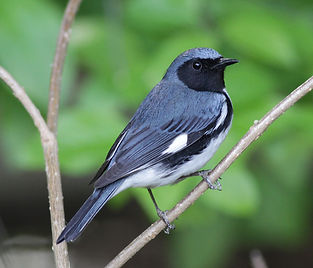 Black-throated Blue Warbler by Will Stuart