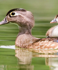 Wood Ducks. Peter Brannon/Audubon Photography Awards