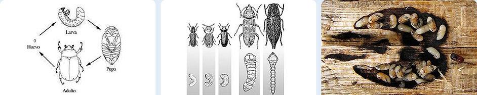 Insectos de Ciclo larvario