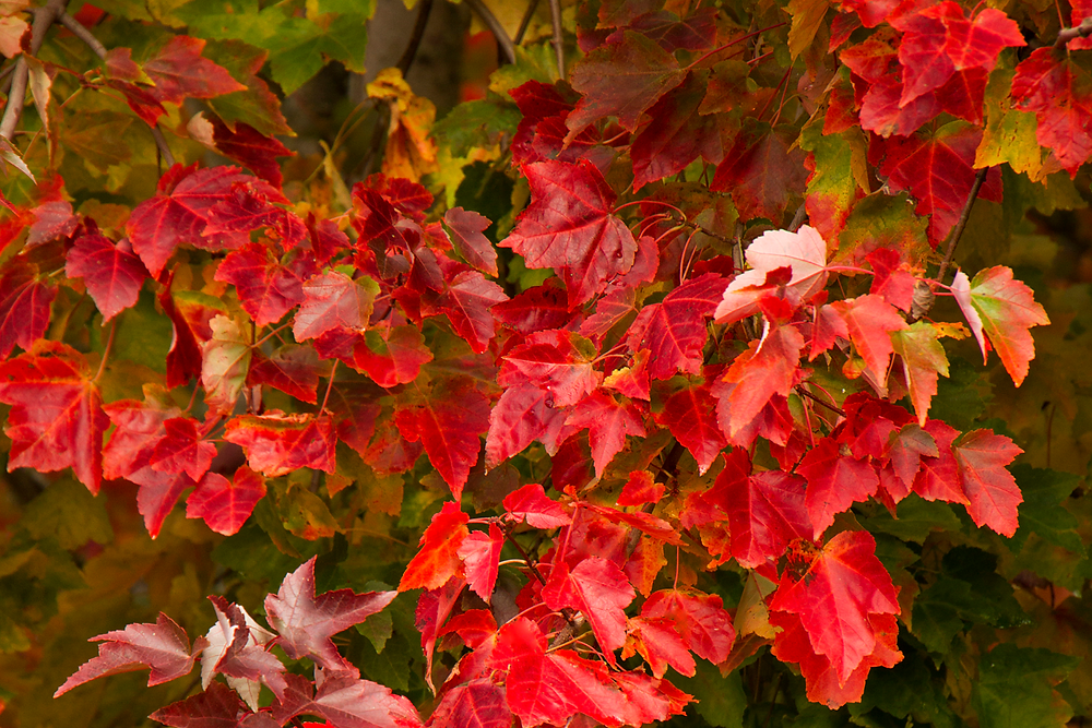 Red Sunset Maple- Trees with Fall Color