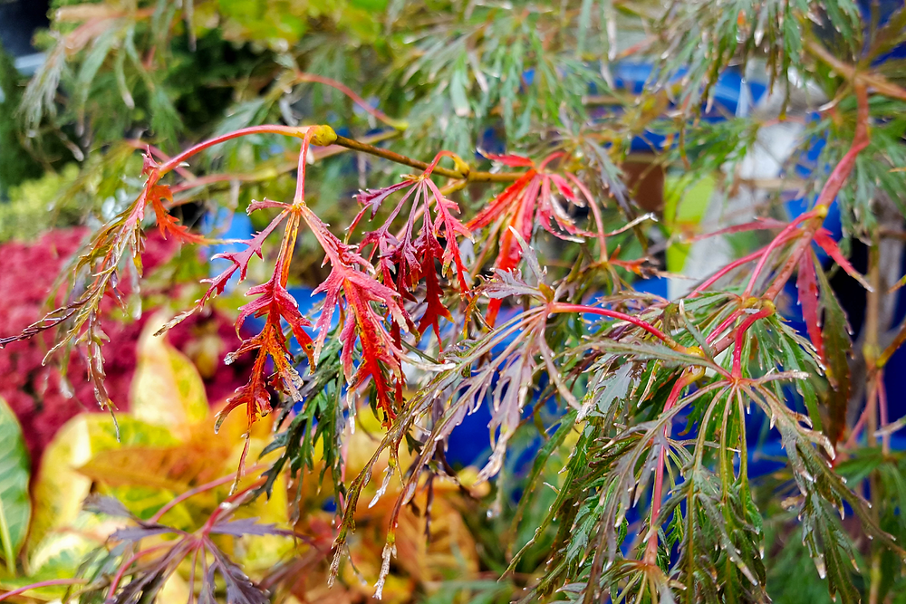Viridis Japanese Maple- Trees with Fall Color