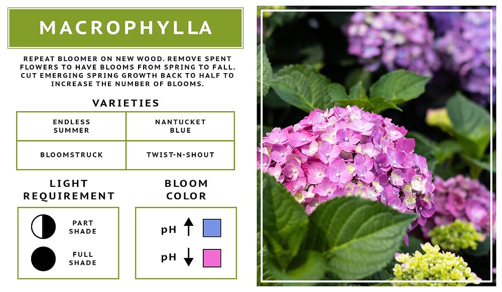 Hydrangea Macrophylla- Hortensia Bigleaf- Summercrush